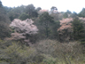 本谷林道沿いの目に留まる山桜
