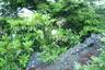 シャクナゲが咲いている