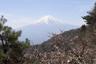 見事な富士と季節はずれの桜