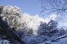 雪まとう木々1