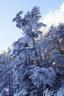 雪まとう木々6