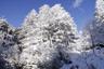 雪まとう木々8